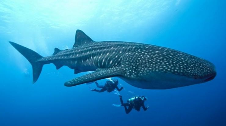 Australia Diving - Whale Shark