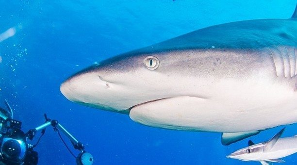 Coral Sea Dive Expedition Shark Diving