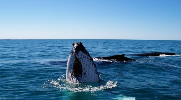 Ningaloo Reef Humpback Whale Adventure